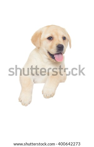 funny labrador puppy on a white background isolated