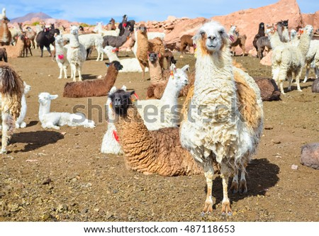 Funny lamas herd enjoying the sun on Altiplano in Bolivia with soft focus
