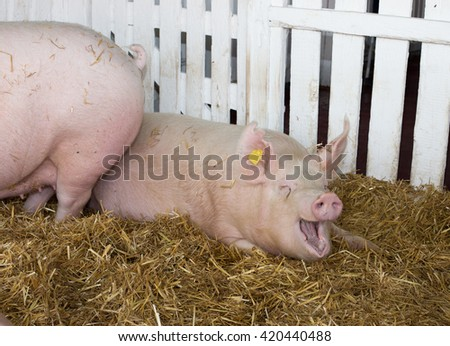 Funny Large white swine (Yorkshire pig) lying on straw in pen with white wooden fence in background - stock photo