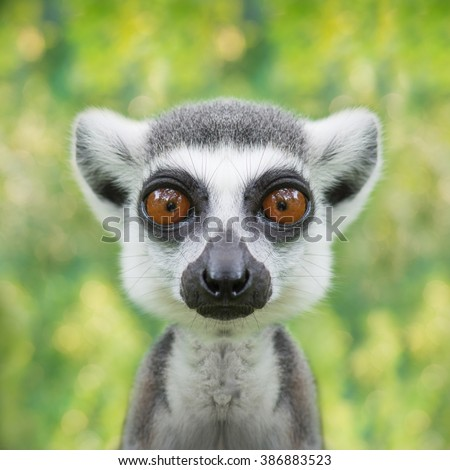 funny lemur face close up with big eyes