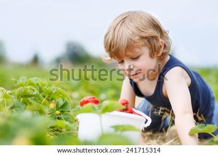 Funny little blond kid boy picking and eating strawberries on organic bio berry farm in summer, on warm sunny day. Harvest fields in Germany. - stock photo