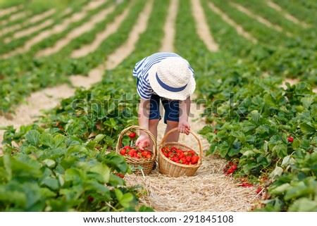 Funny little child picking and eating strawberries on organic bio berry farm in summer, on warm sunny day. Harvest fields in Germany. Healthy food for kids. - stock photo
