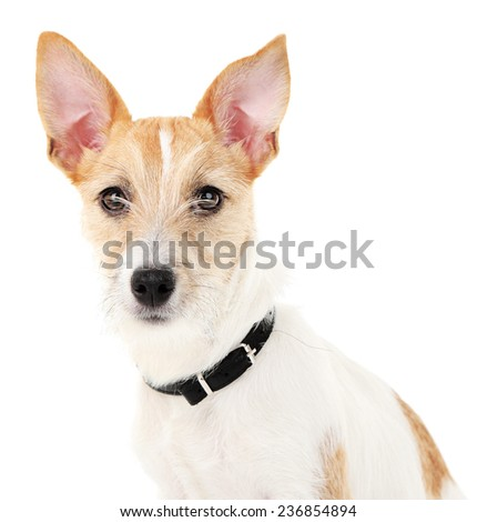 Funny little dog Jack Russell terrier, isolated on white - stock photo