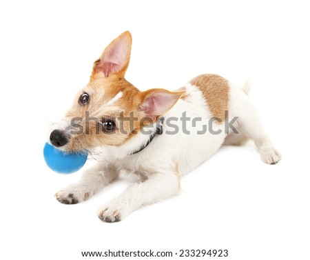 Funny little dog Jack Russell terrier playing with ball, isolated on white