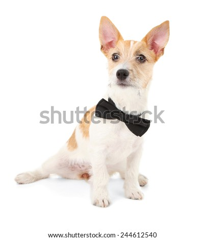 Funny little dog Jack Russell terrier with bow tie, isolated on white - stock photo