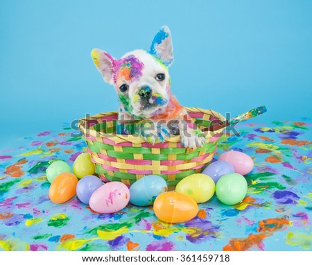 Funny little French Bulldog puppy sitting in an Easter basket, that looks like she just got done painting Easter eggs. On a blue background. - stock photo