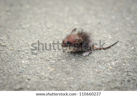 funny little grey rat on the pavement
