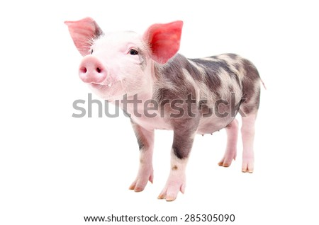 Funny little pig standing in full length isolated on white background - stock photo
