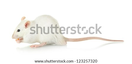funny little rat with food, isolated on white