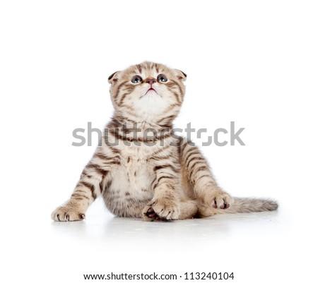Funny little Scottish fold kitten looking up. Isolated on white background. - stock photo