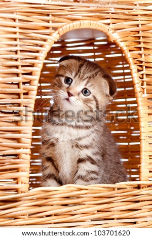 funny little Scottish fold kitten sitting inside wicker cat house - stock photo