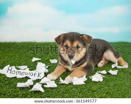 Funny little Shiba Inu puppy that looks like she just shred someones homework and is eating it.