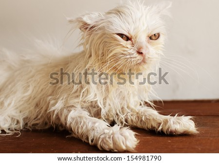 Funny little wet white Persian kitten after a bath