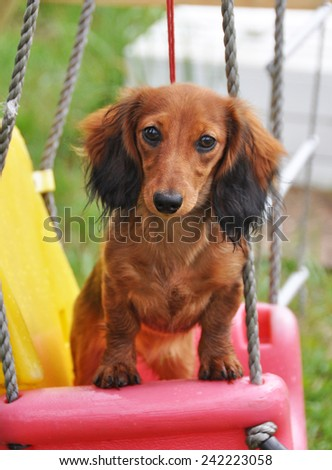 funny long haired Dachshund rabbit sitting on a swing  - stock photo