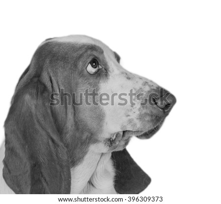 Funny-looking Basset Hound (in black and white, retro style), selective focus on the eyes