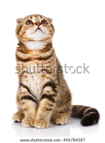 funny lop-eared kitten sitting on a white background and looking up