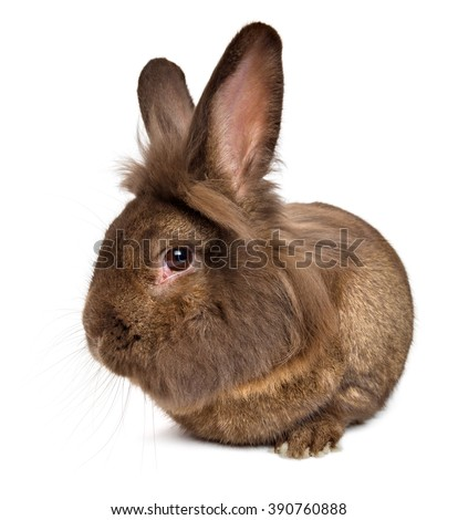 Funny lying chocolate colored lionhead rabbit, isolated on white background - stock photo