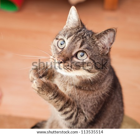 Funny male cat asking for a snack - stock photo