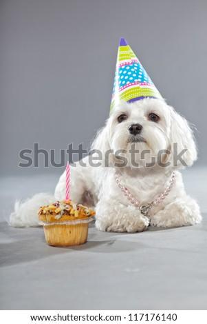 Funny maltese birthday dog with cake and hat. Studio shot. Grey background. - stock photo