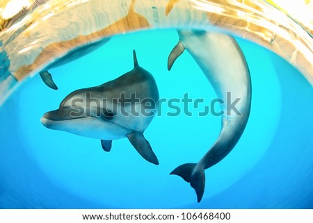 Funny marine dolphins playing under water - stock photo