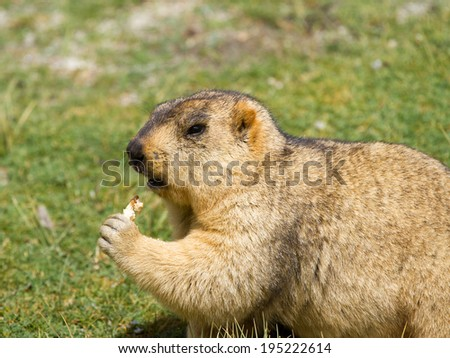 Funny marmot (woodchuck) with bisquit on the meadow (Ladakh, India)