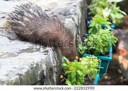 Funny moment of Porcupine - stock photo