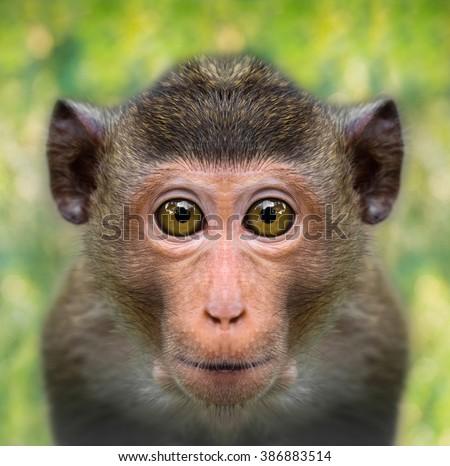 funny monkey face close up with big eyes - stock photo