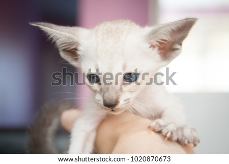 Funny 1 month old oriental blue-point Siamese kitten