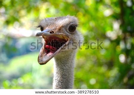 Funny Ostrich Portrait - stock photo