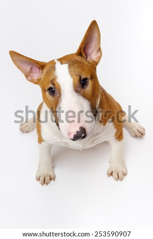 Funny pedigree dog bull terrier sitting on white background