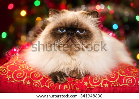 Funny persian colourpoint cat is lying on a red cushion in front of a Christmas tree with colourful lights bokeh - stock photo