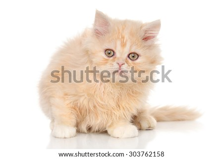 Funny Persian kitten posing in front of white background