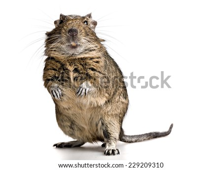 funny pet degu mouse with yellow teeth standing lake a gopher isolated on white background - stock photo