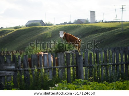 funny photo cow