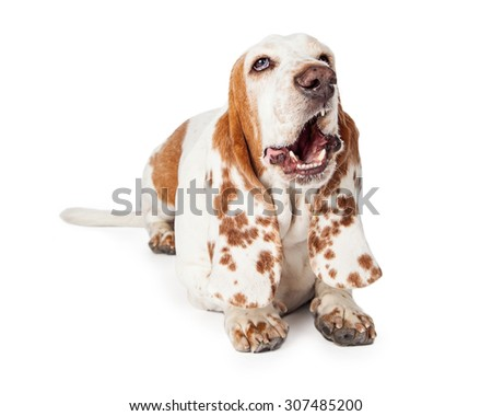 Funny photo of a Basset Hound Dog laying with mouth open in a yawn