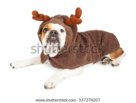Funny photo of a Bulldog bred dog wearing a Christmas reindeer costume while laying on a white background
