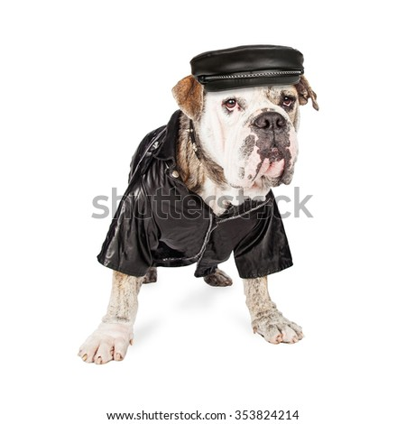 Funny photo of a Bulldog breed dog wearing a leather biker jacket, hat and spiked collar - stock photo