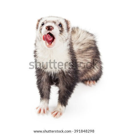Funny photo of a ferret pet ferret with mouth wide open and tongue out and rolled up - stock photo