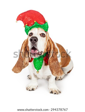 Funny photo of a happy Basset Hound dog wearing a red and green Christmas elf costume