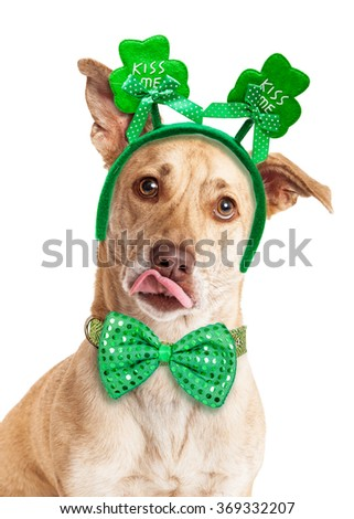 Funny photo of a large dog with tongue out wearing green St. Patrick's Day tie and headband that says kiss me