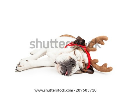 Funny photo of a tired Bulldog laying on her side sleeping while wearing Christmas reindeer antlers - stock photo