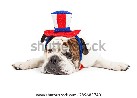 Funny photo of a tired English Bulldog breed dog laying down and wearing a headband with red, white and blue American holiday celebration colors