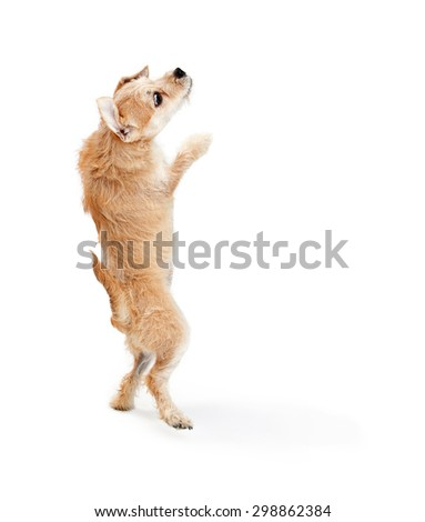 Funny photo of a young terrier breed dog standing up on his hind legs and dancing on a white studio background