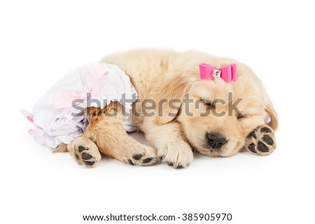 Funny photo of cute little Golden Retriever puppy dog wearing pink bow and diaper romper