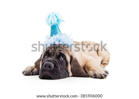 Funny photo of tired Mastiff puppy laying down on white background wearing blue birthday party hat