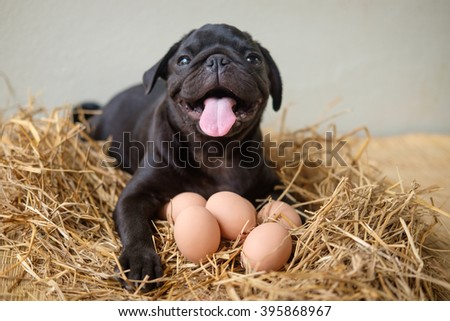 Funny picture , Pug dog give birth eggs on dry grass.(Pug dog laying with eggs on dry grass)