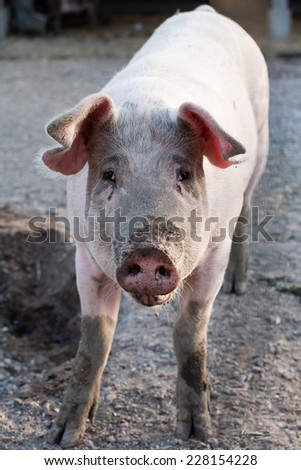 funny pig standing on animal farm background - stock photo