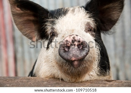 Funny pig with sarcastic look on its face - stock photo