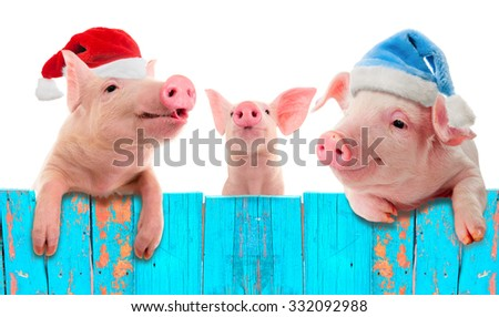 Funny piglet in a cap of Santa Claus hanging on the fence. Studio photo. Isolated on white background. Collage for congratulations farmers.