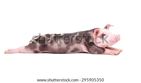 Funny piglet is stretching his hind legs isolated on a white background - stock photo